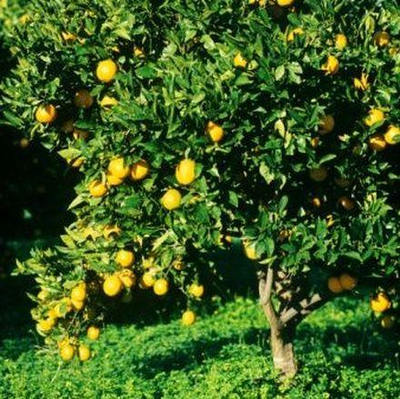 Naranjo for Arbol con raices y frutos
