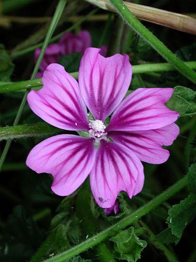 La malva una planta suavizante - Fotos de plantas bonitas ...