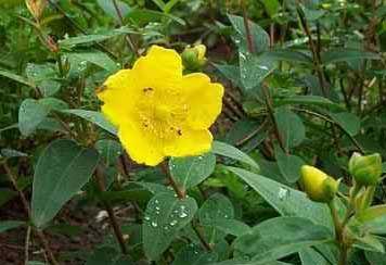 Hypericum (hipericón; hierba de San Juan)