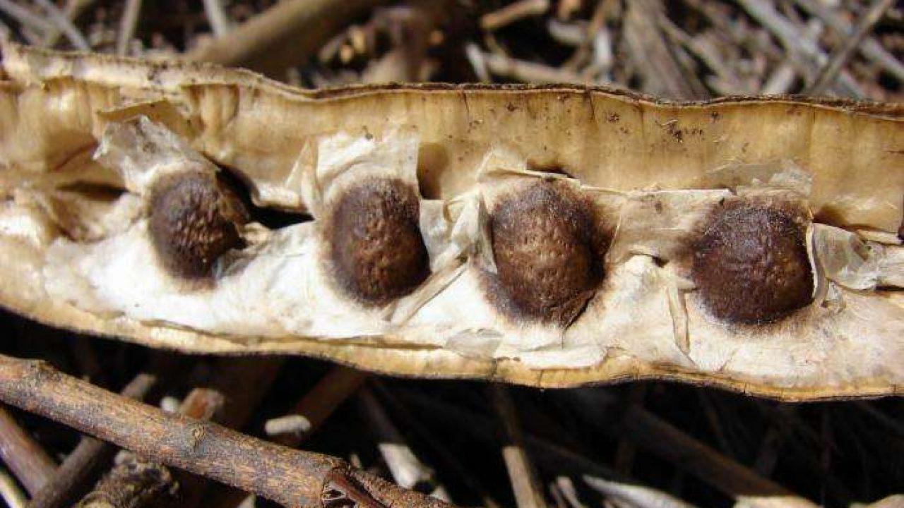 Como tomar la moringa natural para bajar de peso rapido