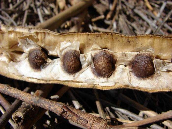 Semillas de Moringa para adelgazar