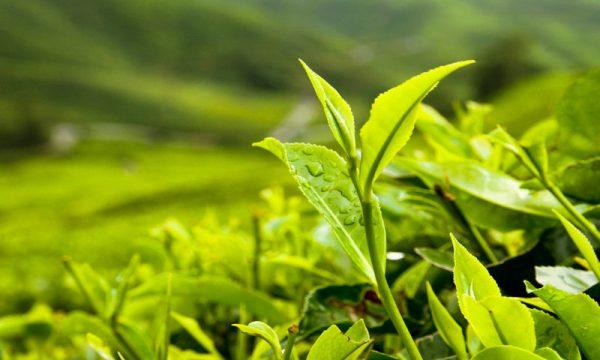 te verde planta