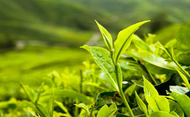 planta de té verde