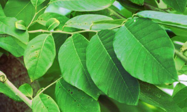 hojas de chirimoya